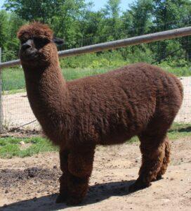Cody before shearing